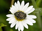 Ox-eye Prints - Chafer Beetle On Ox-eye Daisy Print by Bob Gibbons