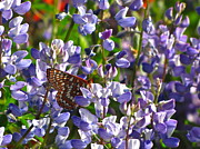 Checkerspot Prints - Chalcedon Checkerspot Amid Prairie Lupin Print by Sean Griffin