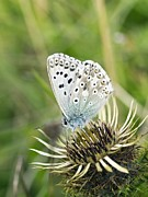 Food Source Framed Prints - Chalkhill Blue Butterfly Framed Print by Adrian Bicker