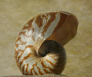Photoart Photo Posters - Chambered Nautilus Poster by Cindi Ressler
