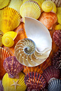 Seashell Seashells Framed Prints - Chambered nautilus  Framed Print by Garry Gay