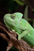Green Day Art - Chameleon by Andrea & Tim photography