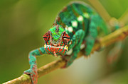 Chameleon Print by Picture by Tambako the Jaguar