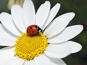 Septempunctata Prints - Chamomile Flower And Ladybird Print by Adrian Bicker