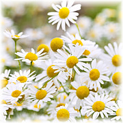 Herbs Photos - Chamomile flowers by Elena Elisseeva