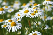 Scents Art - Chamomile Flowers by Georgette Douwma