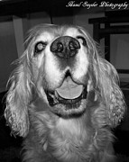 English Cocker Spaniel Posters - Champ In Black and White 001 Poster by Hazel Snyder