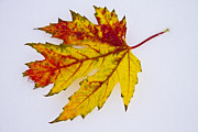 Autumn Prints Framed Prints - Changing Autumn Leaf in the Snow Framed Print by James Bo Insogna