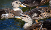 Baby Mallards Photo Posters - Changing Directions Poster by Fraida Gutovich
