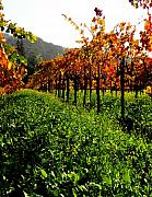 Vineyard Landscape Posters - Changing Vines Poster by Elizabeth Hoskinson