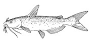 Channel Catfish Prints - Channel Catfish Print by Granger