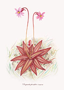 Flower Design Drawings - Chapmans Butterwort by Scott Bennett