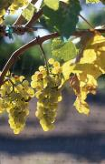 Grapevines Prints - Chardonnay Grapes On The Vine Print by Rich Reid