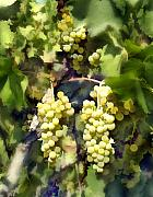 California Vineyards Prints - Chardonnay Print by Kurt Van Wagner