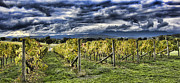 Yarra Valley Prints - Chardonnay Vines Print by Douglas Barnard