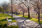 Back Bay Prints - Charles River Cherry Trees Print by Susan Cole Kelly