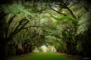 Oak Prints - Charles Towne Landing 0198 Print by Melissa Wyatt