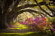 Oak Trees Prints - Charleston SC Magnolia Plantation Gardens - Memory Lane Print by Dave Allen