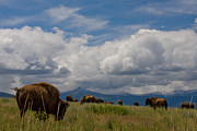 Bison Photo Metal Prints - Charlie Russel Clouds Metal Print by Katie LaSalle-Lowery
