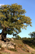 Oak Tree Art - Charnwood Forest Oak by John Edwards