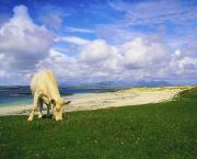 Beach Scenes Photos - Charolais Cow, Mannin Bay, Co Galway by The Irish Image Collection