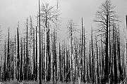 James Bo Insogna Prints - Charred Trees Print by James Bo Insogna