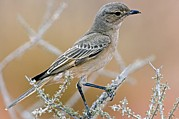 Chat Photo Posters - Chat Flycatcher On A Branch Poster by Tony Camacho