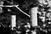 Feeding Birds Prints - Cheap Plastic Peanut And Seed Bird Feeders Hanging In A Garden To Attract Wild Birds In The Uk Print by Joe Fox