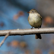 Flycatcher Photos - Chebec .. by Nina Stavlund