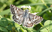 Robert E Alter Reflections of Infinity - Checkered Skipper on...
