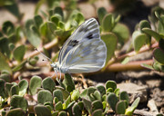 Brian Peterson - Checkered White