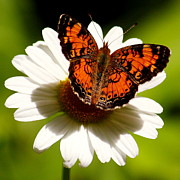 Checkerspot Art - Checkerspot and Daisy by Mark Codington