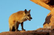 Fox Framed Prints - Checking My Shadow Framed Print by Sandra Bronstein