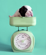 On Top Of Posters - Checking Puppy Weight Poster by Retales Botijero