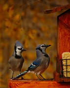 Bluejay Metal Prints - Checking the Menu Metal Print by Richard Stillwell