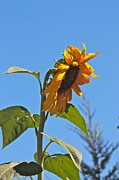 Cheer Up Sunflower  Print by Lori Leigh