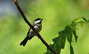 Black-capped Chickadee Greeting Cards Prints - Cheerful Expression Print by Inspired Nature Photography By Shelley Myke
