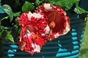 Cheery Cherry Appaloosa Print by Lynn Bauer