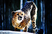 Cheetah Digital Art - Cheeta by Bill Cannon