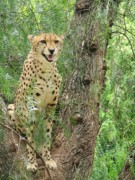 Bigcat Photos - Cheetah 1 by Mary Ivy