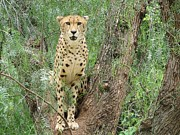 Bigcat Photos - Cheetah 2 by Mary Ivy