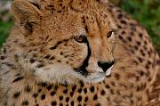 Cheetah Photo Originals - Cheetah 2 by Tess Haun