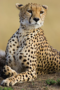 Acinonyx Posters - Cheetah Acinonyx Jubatus Adult Female Poster by Suzi Eszterhas