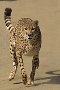 Acinonyx Photos - Cheetah Acinonyx Jubatus Adult Running by San Diego Zoo