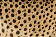 Acinonyx Posters - Cheetah Acinonyx Jubatus Close-up Poster by Ingo Arndt