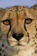 Acinonyx Posters - Cheetah Acinonyx Jubatus Close Poster by Winfried Wisniewski