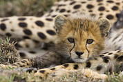 Animals And Earth Metal Prints - Cheetah Acinonyx Jubatus Cub Portrait Metal Print by Suzi Eszterhas