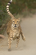 Acinonyx Sp Framed Prints - Cheetah Acinonyx Jubatus In Mid-stride Framed Print by San Diego Zoo
