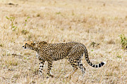 Cheetah Photos - Cheetah, (acinonyx Jubatus), Masai Mara, Kenya by Nico Tondini