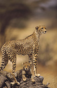 Kenya National Park Prints - Cheetah Acinonyx Jubatus Mother With Print by Gerry Ellis